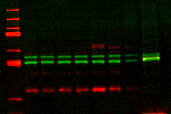 Quantitative Western Blots with NIR Fluorescence Reduce