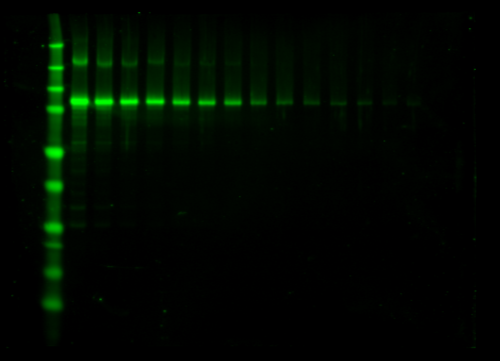 Odyssey Clx Western Blot Image Sequence 12