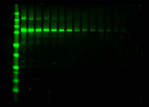 Odyssey Clx Western Blot Image Sequence 16
