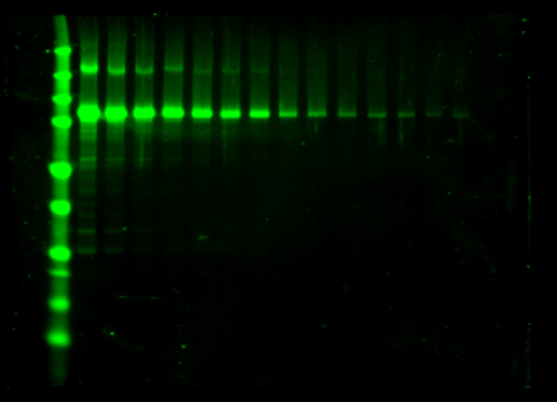 Odyssey Clx Western Blot Image Sequence 18