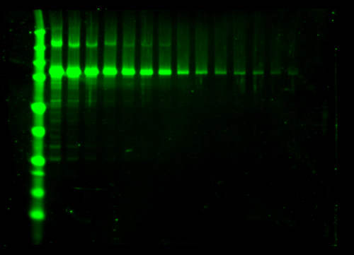 Odyssey Clx Western Blot Image Sequence 19