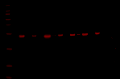Odyssey Fc Western Blot Image Sequence 3