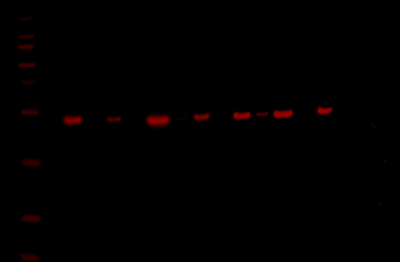 Odyssey Fc Western Blot Image Sequence 5