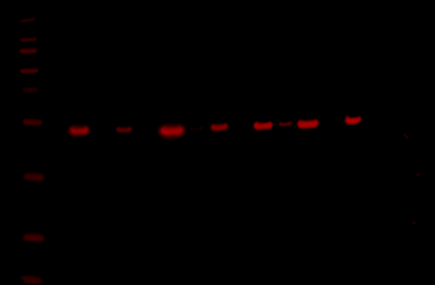 Odyssey Fc Western Blot Image Sequence 6