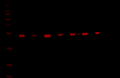 Odyssey Fc Western Blot Image Sequence 7