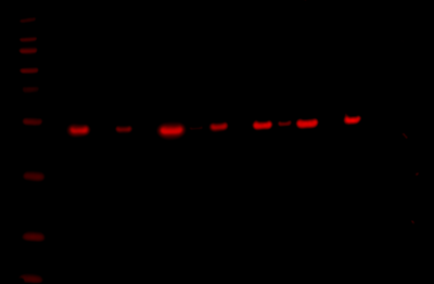 Odyssey Fc Western Blot Image Sequence 8