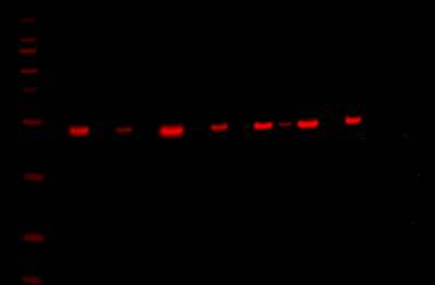 Odyssey Fc Western Blot Image Sequence 9