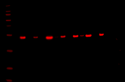 Odyssey Fc Western Blot Image Sequence 10