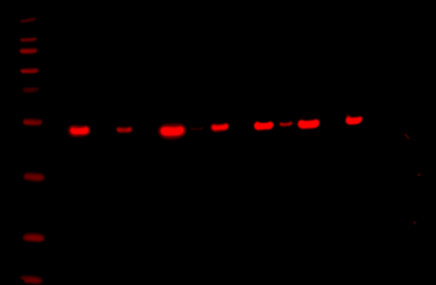 Odyssey Fc Western Blot Image Sequence 12