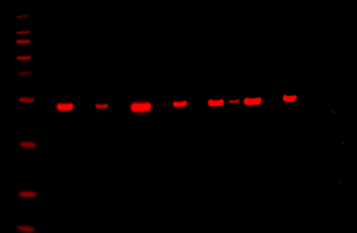 Odyssey Fc Western Blot Image Sequence 13