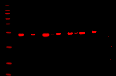 Odyssey Fc Western Blot Image Sequence 14