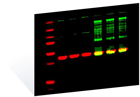 Accurate Reproducible Western Blots With The Odyssey Clx