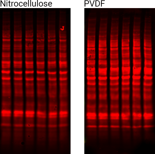 Revert staining of PVDF and nitrocellulose membranes