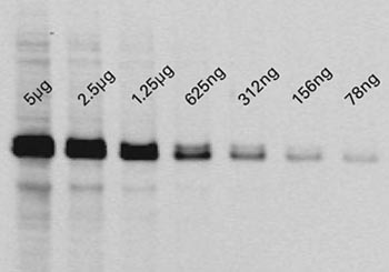 Serial dilutions of A431 lysates detected with the Chemi-IR detection kit
