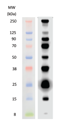 WesternSure Prestained Protein Chemiluminescent Protein Ladder Data